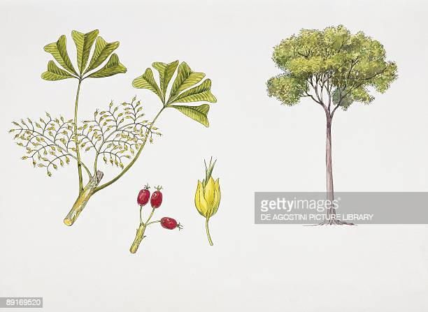 Schefflera longipedicellata plant with flower, leaf and berry, illustration