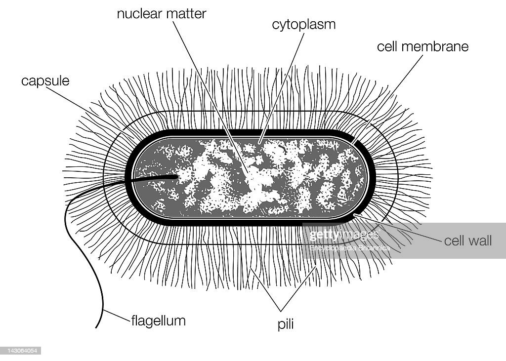 Bacillus Bacterial Cell Diagram With Labels Wiring Diagram