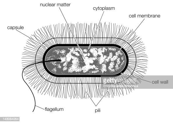 Schematic Drawing Of The Structure Of A Typical Bacterial