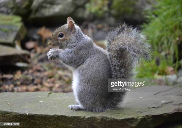 scheming squirrel - gray squirrel stock pictures, royalty-free photos & images