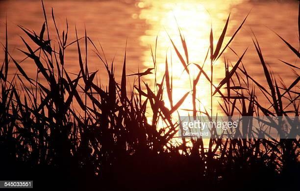 Schilf im Sonnenuntergang an der Havel inBerlin 1998