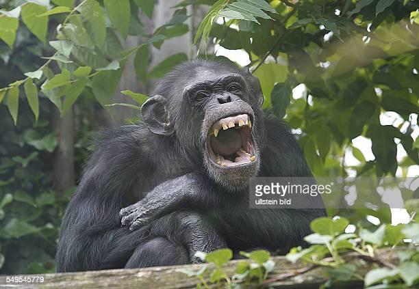 Schimpansenhaus im Bergzoo Halle Schimpanse Banghi