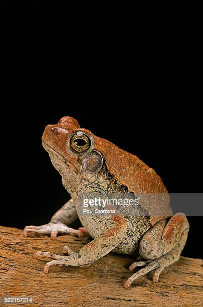 Schismaderma carens (red toad)