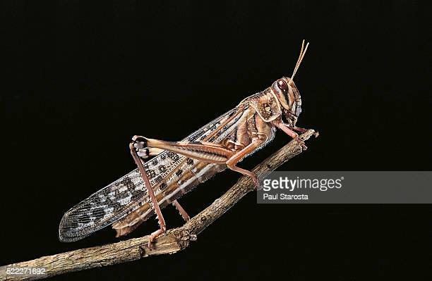 schistocerca gregaria (desert locust) - locust stock pictures, royalty-free photos & images