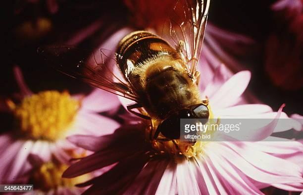 Schlammfliege auf Blüte 1994