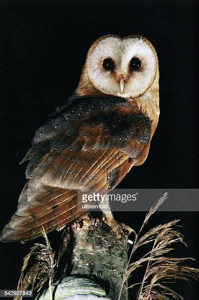 Schleiereule auf einem Baumstumpf Eulenvogel nachtaktiv Undatiertes Foto