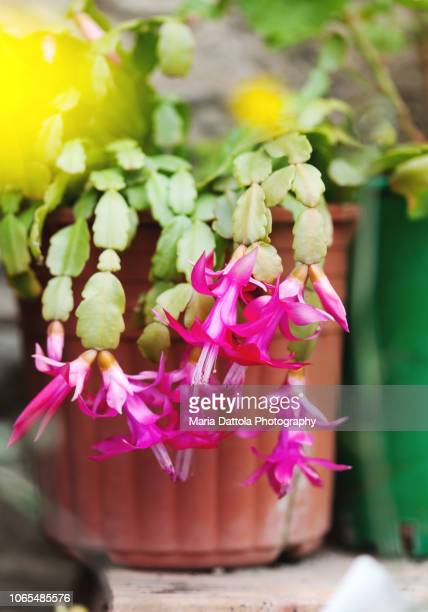 schlumbergera in bloom - christmas cactus stock photos and pictures
