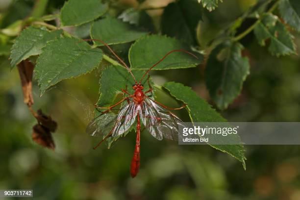 Schlupfwespe Ophion luteus an gruenem Blatt sitzend mit geoeffneten Fluegeln von hinten