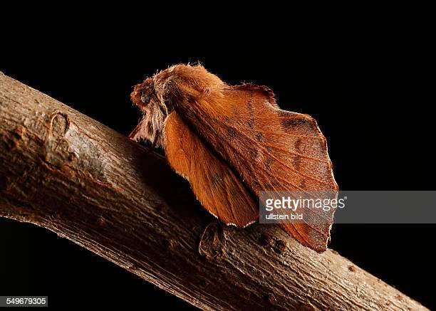 Schmetterling Phyllodesma tremulifolia Kleine Eichenglucke
