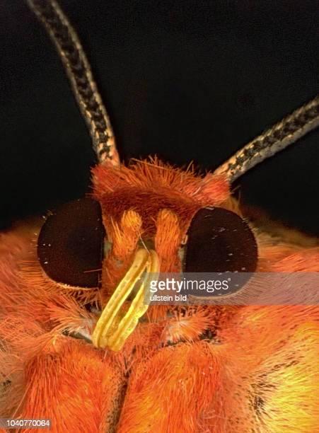 Schmetterling Schmetterlinge spinner Bärenspinner Detail Details Metarctia lateritia Insekt Insekten Tier Tiere Naturschutz Macroaufnahme...