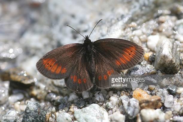 Schmetterlinge Gelbgefleckter Mohrenfalter Männchen