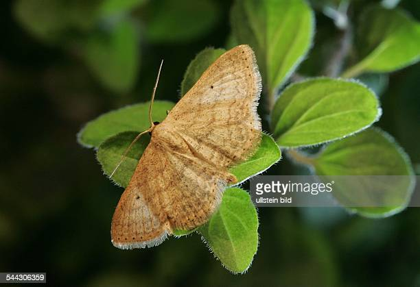 Schmetterlinge Spanner Geometridae Minorataspanner