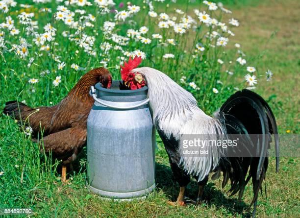 Schmucker Haushahn der Rasse Italiener silberfarbig freilaufend in oekologischer Haltung mit Huhn der Rasse Italiener goldbraun an einer Milchkanne...