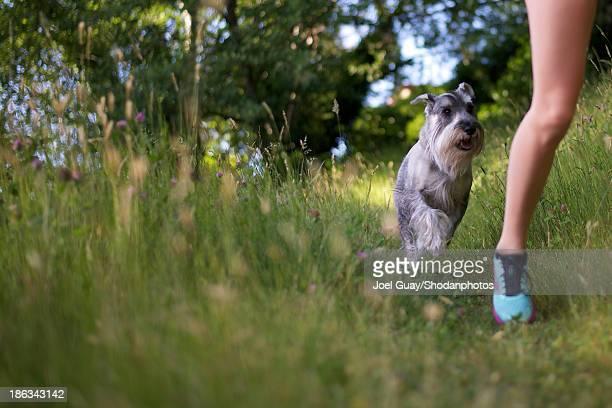 Schnauzer dog chasing jogging girl