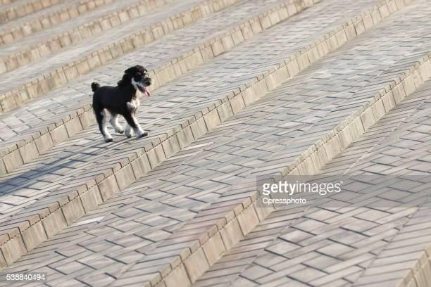 Schnauzer dog on steps