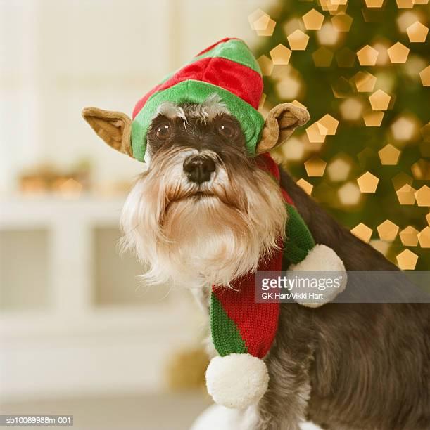 Schnauzer dog wearing elf hat, close-up