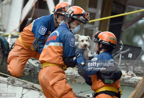 A schnauzer dog who survived the quake is pulled out of the rubble from a flattened building by rescuers in Mexico City on September 24 2017 Hopes of...