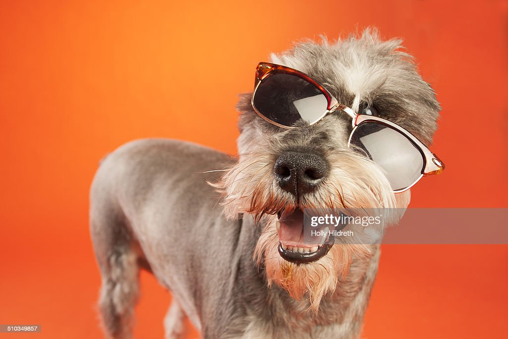 Schnauzer in sunglasses : Stock Photo