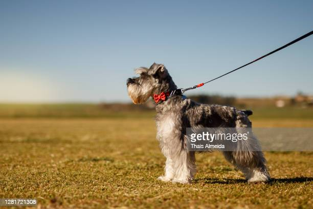 schnauzer on the grass - schnauzer stock pictures, royalty-free photos & images