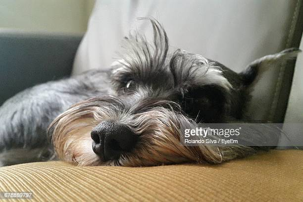 Schnauzer Relaxing On Couch