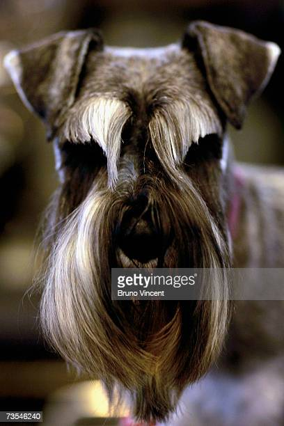 Schnauzer rests during Crufts International Dog Show at the National Exhibition Centre on March 11 2007 in Birmingham England During this year's...