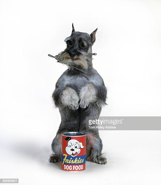 A schnauzer stands on its hind legs behind an unopened can of 'Friskies' brand dog food a can opener in its mouth California 1950s
