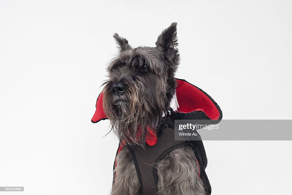 A Schnauzer wearing a Count Dracula cape costume : Stock Photo