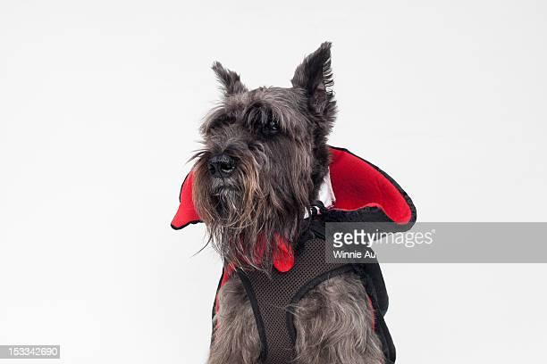 A Schnauzer wearing a Count Dracula cape costume