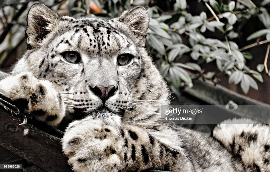 Schneeleopard Photo Getty Images