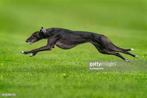 schneller hund - greyhound stock photos and pictures