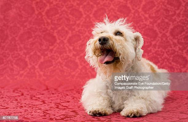 schnoodle sitting on flocked wallpaper - compassionate eye foundation stock pictures, royalty-free photos & images
