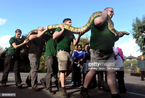 School children from Southern Road Primary in Plaistow lookon as members of staff at London Zoo carry Big Bertha a 16 foot Burmese Python called Big...