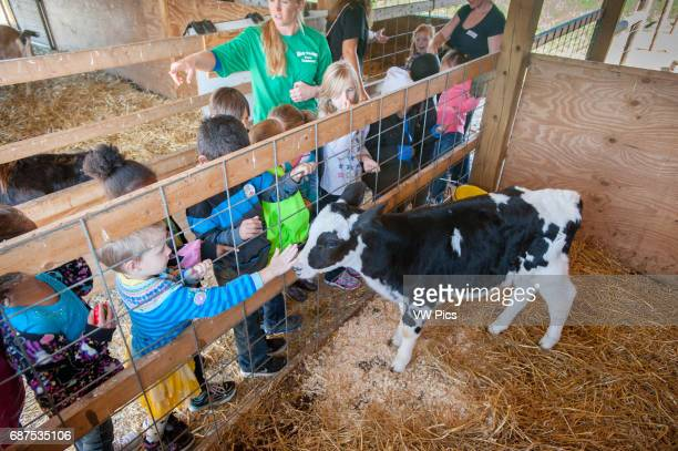 School children in barn with girl petting calf Hagerstown Maryland