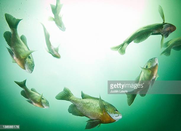 school fish in freshwater cory - freshwater stock pictures, royalty-free photos & images