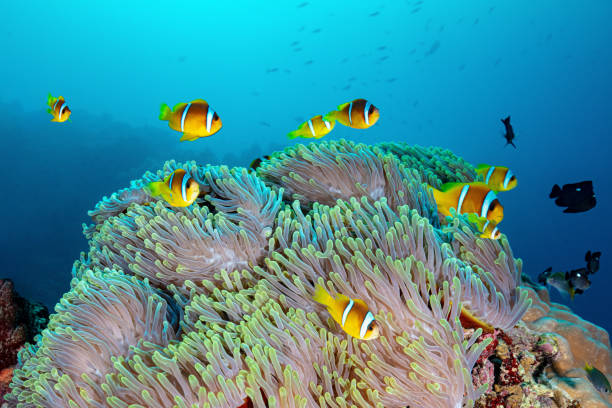 School Of Anemone Fish In An Anemone