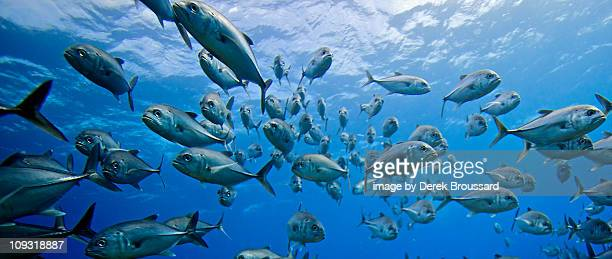 school of big eye jacks - school of fish stock pictures, royalty-free photos & images