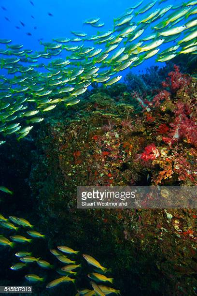 school of bigeye snappers, richelieu rock, surin national marine park, south of phuket, thailand - en:public_domain stock pictures, royalty-free photos & images