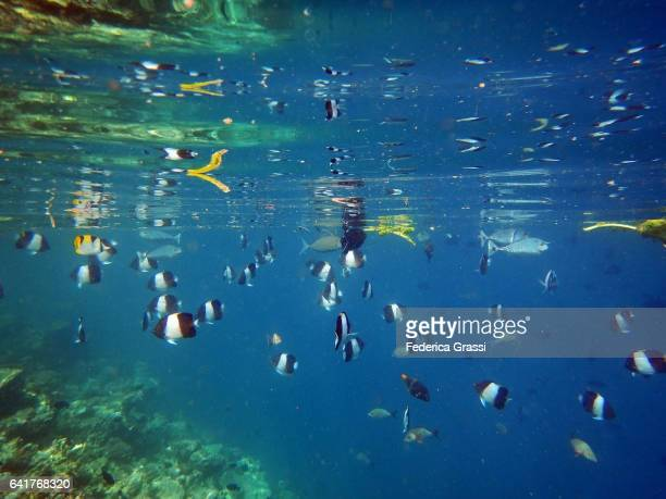 School of Black Pyramid Butterfly Fish Swimming Just Below The Surface