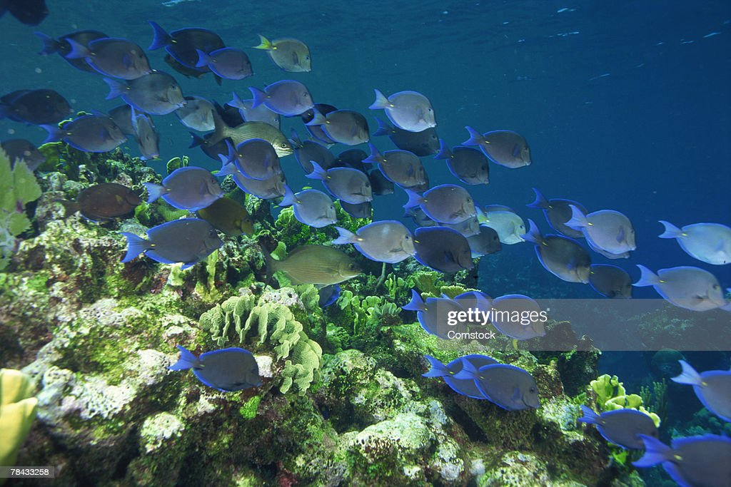 School of blue tang fish grazing on algae covered coral : Stockfoto