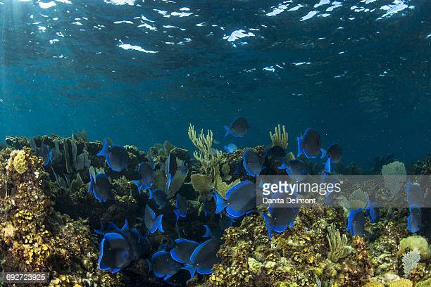 School of blue tangs swimming above coral reef in clear blue waters near Staniel Cay, Exuma, Bahamas