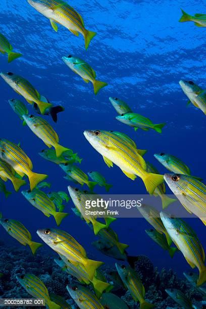 School of bluelined snapper (Lutjanus kasmira), underwater view