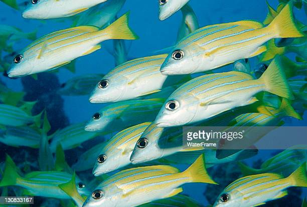 School of Bluestripe Snapper (Lutjanus kasmira), Maldive Islands, Indian Ocean