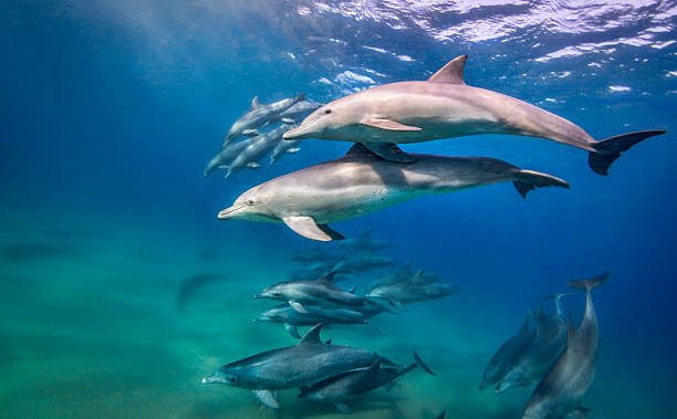 School Of Bottlenose Dolphins (Tursiops Truncatus) Wall Art