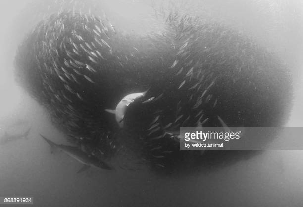 school of bronze whaler sharks attacks a sardine bait ball during the sardine run, wild coast, south africa. - kwazulu natal sharks stock pictures, royalty-free photos & images