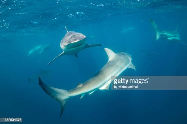 school of bronze whaler sharks feeding on a sardine bait ball during the sardine run off the east coast of south africa. - kwazulu natal sharks stock pictures, royalty-free photos & images