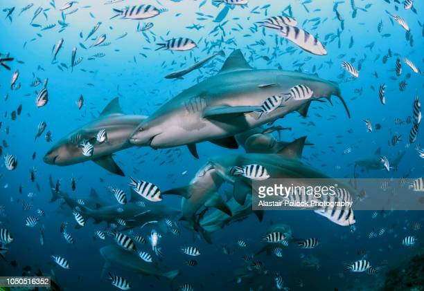 school of bull sharks 2 - fiji stock pictures, royalty-free photos & images