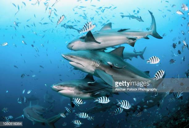 school of bull sharks - bull shark stock pictures, royalty-free photos & images