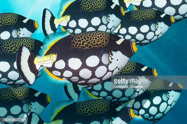 School of clown triggerfish, underwater view, (digital composite)