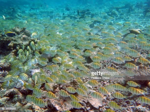 School of Convict Surgeonfish (Acanthurus triostegus)