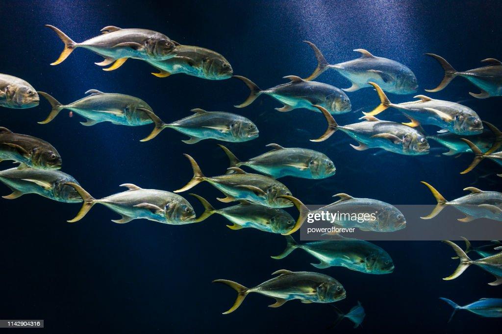 School of Crevalle Jack Fish : Stock Photo